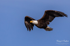 March 7, 2020 - Bald eagle flyby. (Tony's Takes)