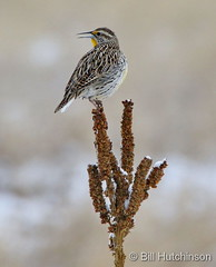 March 2, 2020 - A western meadowlark hanging out. (Bill Hutchinson)