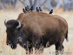 March 1, 2020 - Starlings hitch a ride on a bison. (Bill Hutchinson)
