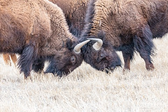 March 1, 2020 - Bison spar at the Rocky Mountain Arsenal. (Tony's Takes)