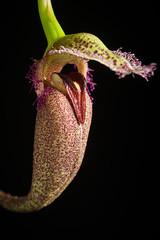 [Philippines] Bulbophyllum romyi B.Thoms, Orchids (West Palm Beach) 84: 631 (2015)