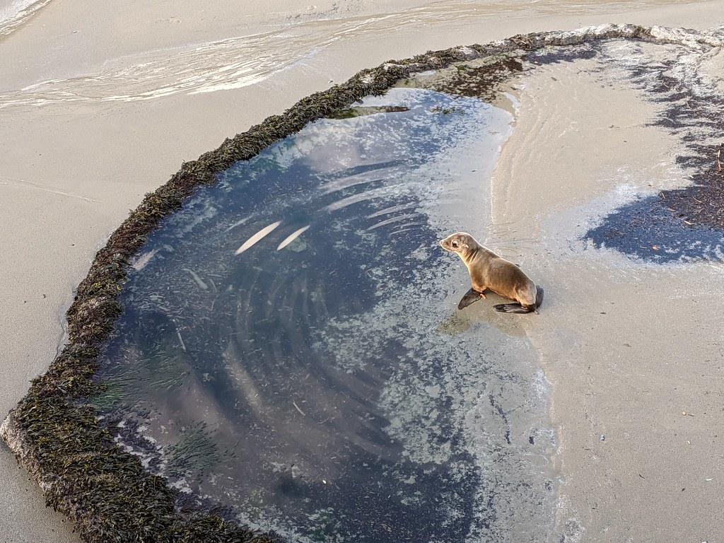 Sea lion rescue at Yaquina Head