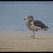 Pacfic Gull: Juvenile