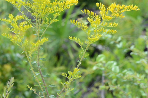 Solidago odora var. chapmanii 1aIR2 by jimduggan24, on Flickr