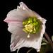 [Sichuan, China / 中国四川省] Helleborus thibetanus 'Sichuan #200301' Franch., Nouv. Arch. Mus. Hist. Nat. sér. 2, 8: 196 (1886)