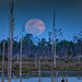 March 9, 2020 Supermoon rising over the marsh and snags at Babcock Wildlife Management Area near Punta Gorda, Florida