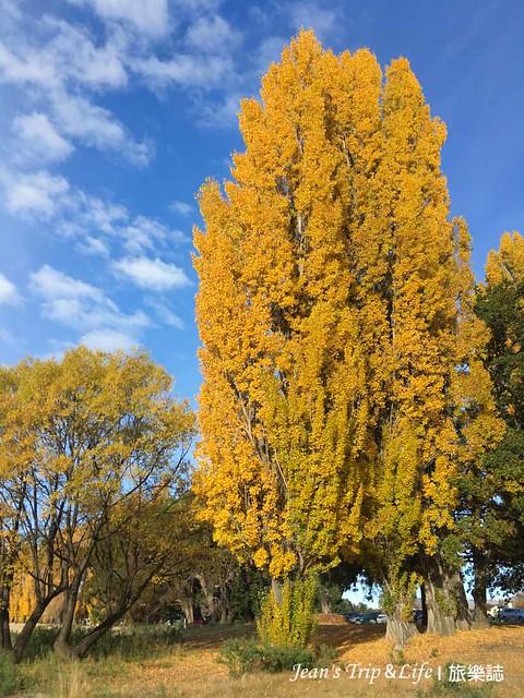 高大的白楊樹