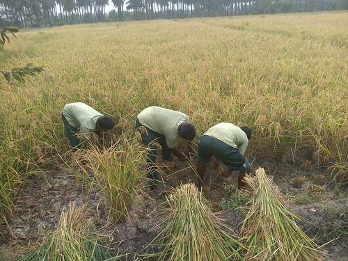 RKMVERI-FAR Crop production - Paddy harvesting(111)