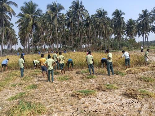 RKMVERI-FAR Crop production - Paddy harvesting(120)