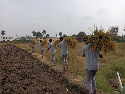 RKMVERI-FAR Crop production - Paddy harvesting(118)