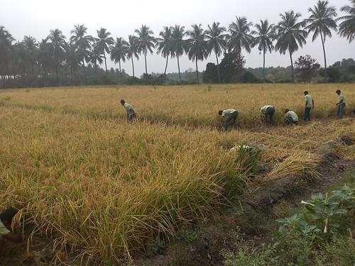 RKMVERI-FAR Crop production - Paddy harvesting(113)