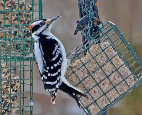 Hairy Woodpecker - Webster - © Peggy Mabb - Mar 01, 2020