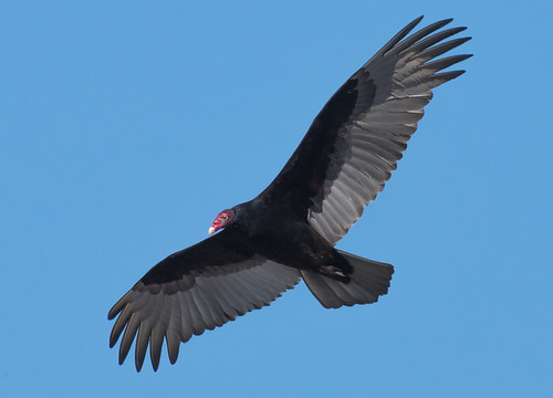 Turkey Vulture - Henrietta - © Angie Armstrong - Mar 08, 2020