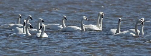 Tundra Swan - Sandy Creek - © Rosemary Reilly - Mar 09, 2020