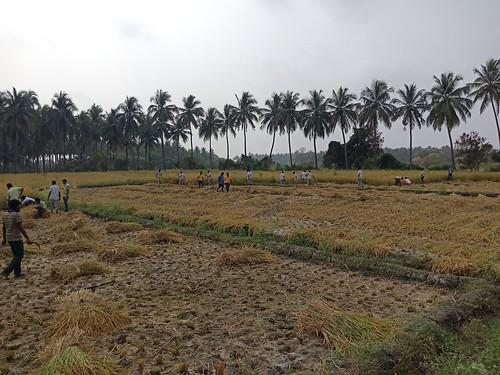 RKMVERI-FAR Crop production - Paddy harvesting(119)