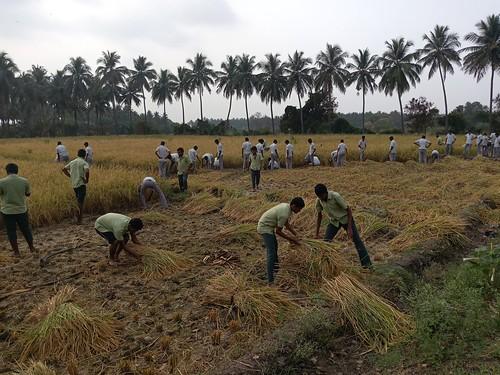 RKMVERI-FAR Crop production - Paddy harvesting(116)