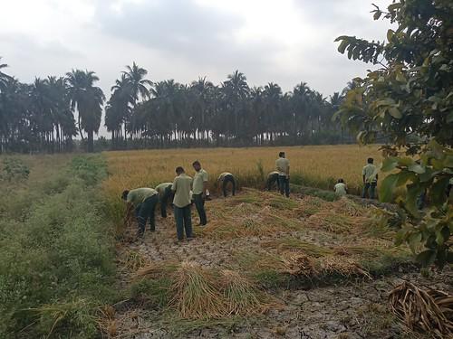 RKMVERI-FAR Crop production - Paddy harvesting(115)