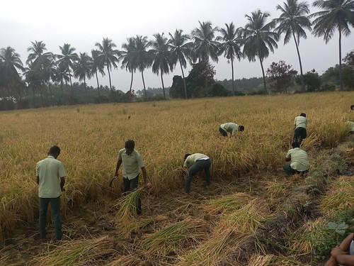 RKMVERI-FAR Crop production - Paddy harvesting(114)