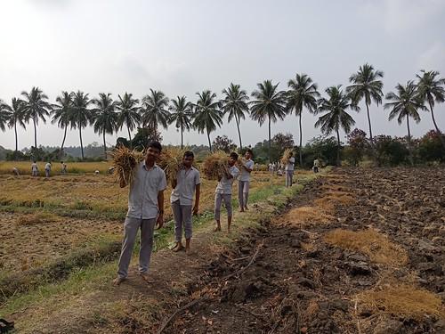 RKMVERI-FAR Crop production - Paddy harvesting(117)