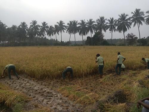 RKMVERI-FAR Crop production - Paddy harvesting(112)