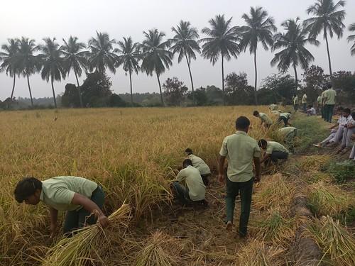 RKMVERI-FAR Crop production - Paddy harvesting(110)