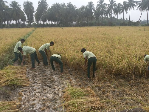 RKMVERI-FAR Crop production - Paddy harvesting(109)