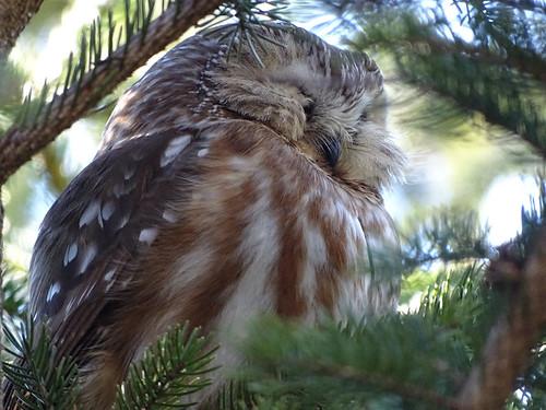 Northern Saw-whet Owl - Owl Woods - © Janis George - Mar 07, 2020