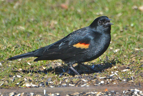 Red-winged Blackbird - Webster - © Peggy Mabb - Mar 07, 2020