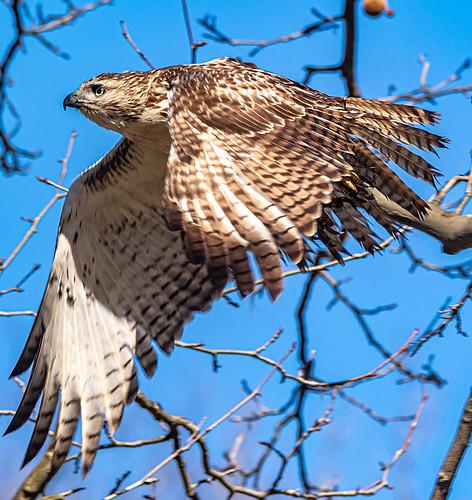 Red-tailed Hawk - Ellison Park - © David Laiacona - Mar 08, 2020