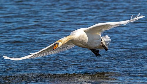 Mute Swan - LaSalle Landing Park - © David Laiacona - Mar 08, 2020