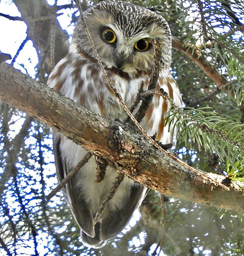 Northern Saw-whet Owl - Owl Woods - © Eunice Thein - Mar 08, 2020