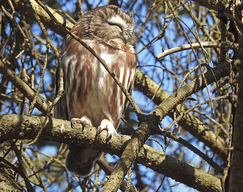 Northern Saw-whet Owl - Owl Woods - © Candace Giles - Mar 09, 2020