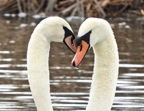 Mute Swan - LaSalle Landing Park - © Eunice Thein - Mar 03, 2020