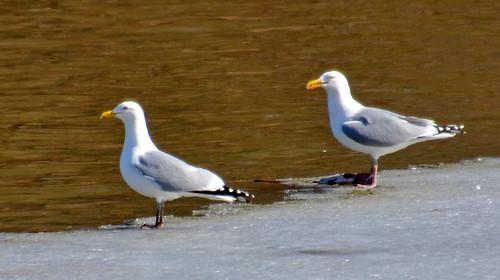 Herring Gull - Irondequoit Bay - © Peggy Mabb - Mar 05, 2020