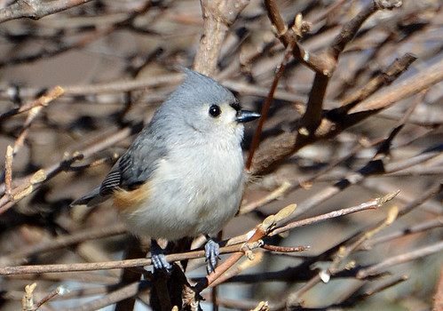 Tufted Titmouse - Webster - © Peggy Mabb - Mar 07, 2020