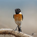A Siberian Stonechat on a Twig