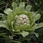 butterbur flower
