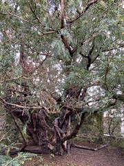 Photo of Fortingall Yew