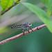 robber fly - Penang National Park - Teluk Bahang, Penang Island, Malaysia - Feb 2020