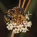 Poey's Furrow Bee - Halictus poeyi, Everglades National Park, Homestead, Florida