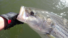 Striped Bass Release