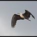 White-necked Heron: The Headlight Bird
