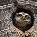 A Spotted Owlet in a small hole on the Coconut Tree