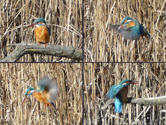 Photo of Kingfisher Fishing
