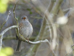Photo of Singing Dunnock