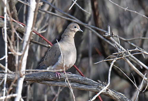 Mourning Dove - Whiting Road Nature Preserve - © Dick Horsey - Mar 05, 2020