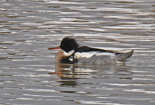Red-breasted Merganser - Irondequoit Bay Outlet - © Dick Horsey - Mar 01, 2020