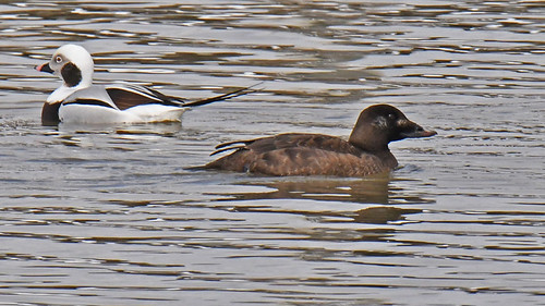 White-winged Scoter (F) - Irondequoit Bay Outlet - © Dick Horsey - Mar 01, 2020