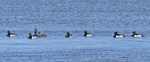 Ring-necked Duck - Braddock Bay Park - © Dick Horsey - Mar 04, 2020