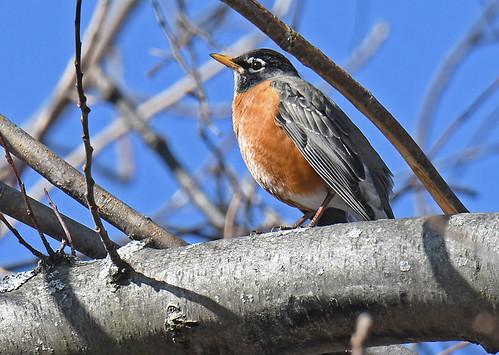 American Robin - Whiting Road Nature Preserve - © Dick Horsey - Mar 05, 2020
